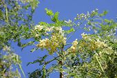 image of moringa oleifera  - flowers and leaves of Moringaflowers and leaves of Moringa - JPG