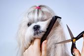 stock photo of grooming  - Shih tzu dog grooming with comb and scissors - JPG