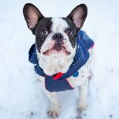 French bulldog in winter jacket on the walk