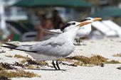 Sunbathe Terns