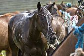 picture of transpiration  - Horses of a polo competition after the game - JPG