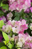 Bougainvillea flowers.