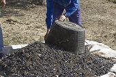 A farmer dumps olives in a heap Jaen Spain