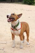 Red And White Bull Terrier Standing At The Beach