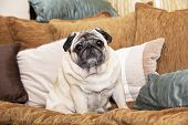 A Cute Pug Dog Sitting On A Sofa