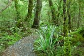 Temperate rain forest, Fiordland National Park, South Island, New Zealand.Track - Lake Gunn Nature Walk. Focus on foreground
