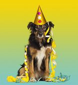 Close-up of a Border collie with party hat and streamers, sitting on a colored background