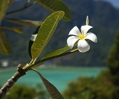 foto of frangipani  - Frangipani with sea in the background - JPG