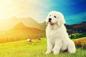 Cute white puppy dog in mountains. Polish Tatra Sheepdog, known also as Podhalan or Owczarek Podhalanski in Tatra Mountains