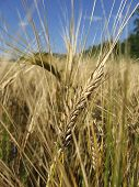 picture of gleaning  - natural light wheat field taken outdoors in sunlight - JPG