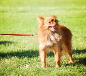 a cute pomeranian at a local park on a hot sunny day