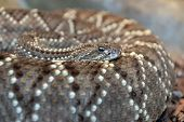 foto of western diamondback rattlesnake  - Western diamondback rattlesnake coiled over body - JPG