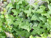 Biogarten Ivy