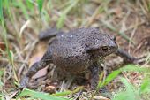Defense Reaction Of Common Toad Bufo Bufo