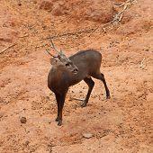 Deer Standing