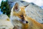 Red orange fox portrait in wilde place