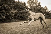 Great Dane running in field in sepia