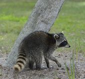 Young Raccoon Walking Near A Tree