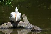 Young Pelican Sitting On A Tree Above The Lake