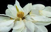 Open Magnolia