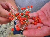 The Nature Of Lake Baikal. Local Berries On Hands
