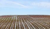 Vineyard In Winter