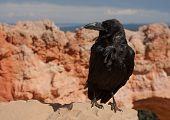 Natural Bride Raven