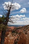 Tree Over Bryce