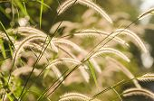Dwarf Foxtail Grass