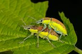bugs mating on green leaf