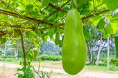 Wax Gourd On The Tree - Thai Garden