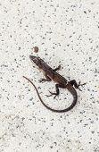Common Salamander