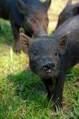 piglet black