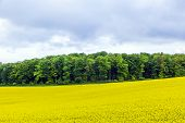 Yellow Oilseed Rape Field Under The Blue Sky With Sun