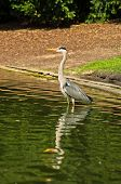 Beautifull grey heron bird at Stadtpark in downtown of Vienna