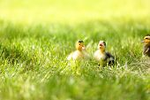 Little cute ducklings on green grass, outdoors
