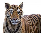 Tiger portrait of a Bengal tiger