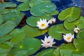 Blooming White Water Lilies With Green Leaves