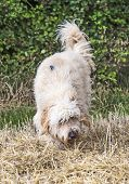 West Highland White Terrier On A Green Grass Outdoors