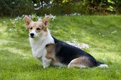 image of corgi  - welsh corgi pembroke sitting down on the lawn - JPG