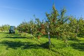 Trees with ripe red apples in a farm's apple orchard.