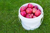 A basket of freshly picked Honeycrisp apples.