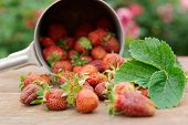 Strawberries spilled from a pot on wooden table