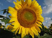 Yellow Sunflower On Blue Sky With White Clouds
