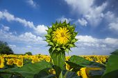 Young Sunflower Close Up Under The Cloudy Blue Sky.jpg