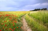 Country Road Through Cornfield With Red Poppies