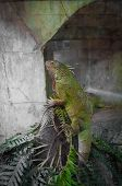 Green Big Cameleon In Croatia Europe