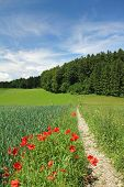 German Summer Landscape, Cornfield With Red Poppies And Walkway