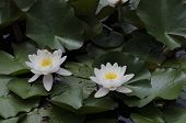 Water-lily blossom