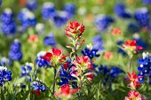 foto of bluebonnets  - Bluebonnets and Indian paintbrushes in late afternoon light - JPG